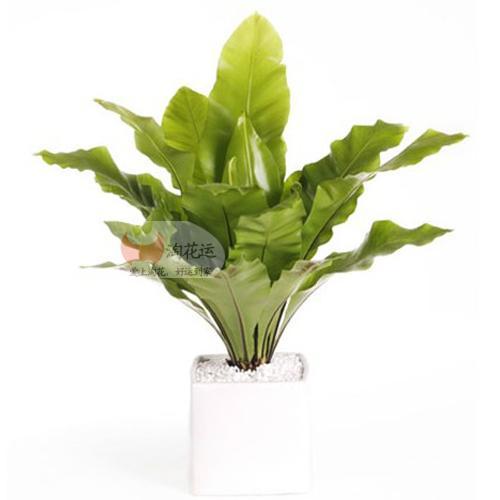 鸟巢蕨 - 淘花运